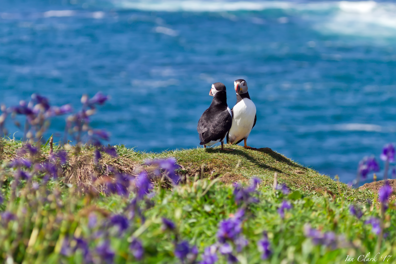 Puffins from Lunga - 2017