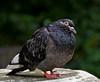Feral Pigeon, Postman's Park, London