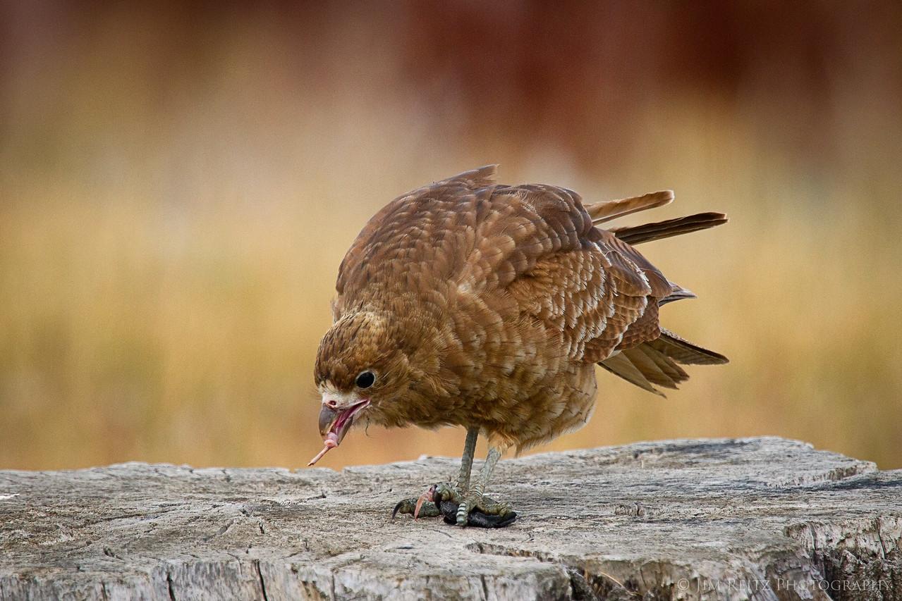 A juvenile raptor of some kind eating it's prey, outside El Calafate, Argentina.