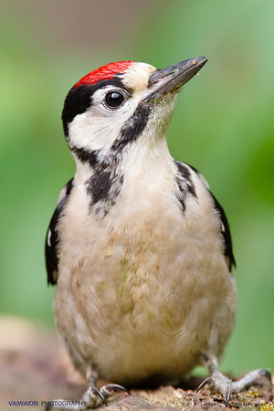 Portrait of a young great spotted woodpecker.