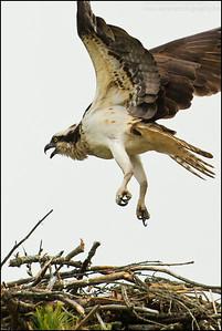 Osprey Pandion haliaetus