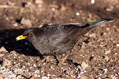 Blackbird, Cannock Chase