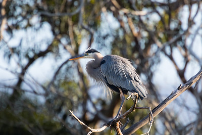 Great Blue Heron-3077