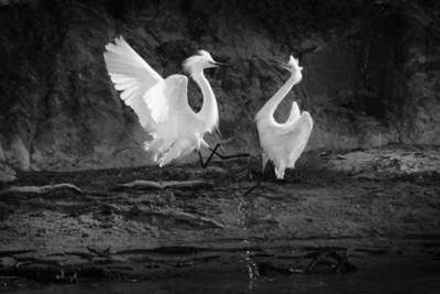Snowy Egrets Spring 2018-14