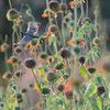 Marico sunbird, Cinnyris mariquensis, Broad-leaved Minaret Flower, Leonotis ocymifolia, Moreleta Kloof Nature Reserve, Pretoria, Südafrika, South Africa