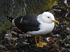 Sheltering Seagull.<br /> 17th May 2009