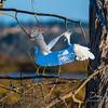 Snowy Egrets (Egretta Thula)