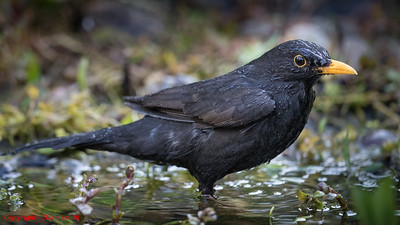 Blackbird Bathing