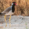 Red-wattled lapwing in the dunes near the beach in Al Safouh, Dubai.  Photo by: Stephen Hindley©