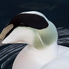 Common Eider male (c)