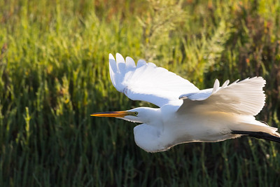 Great Egret-3010