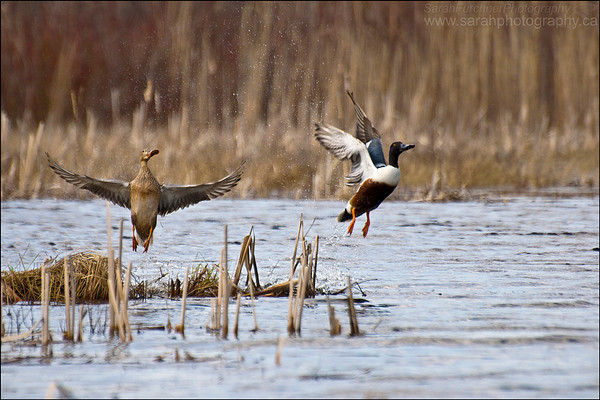 Male and Female Northern Shoveler Ducks Anas clypeata