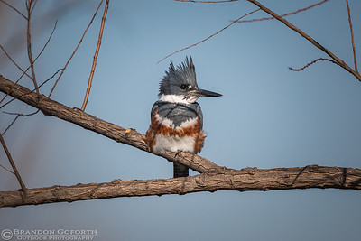Belted Kingfisher I