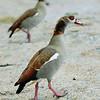 Nilgans, Egyptian Goose, Alopochen aegyptiaca, Boulder Beach, Simonstown, South Africa, Südafrika