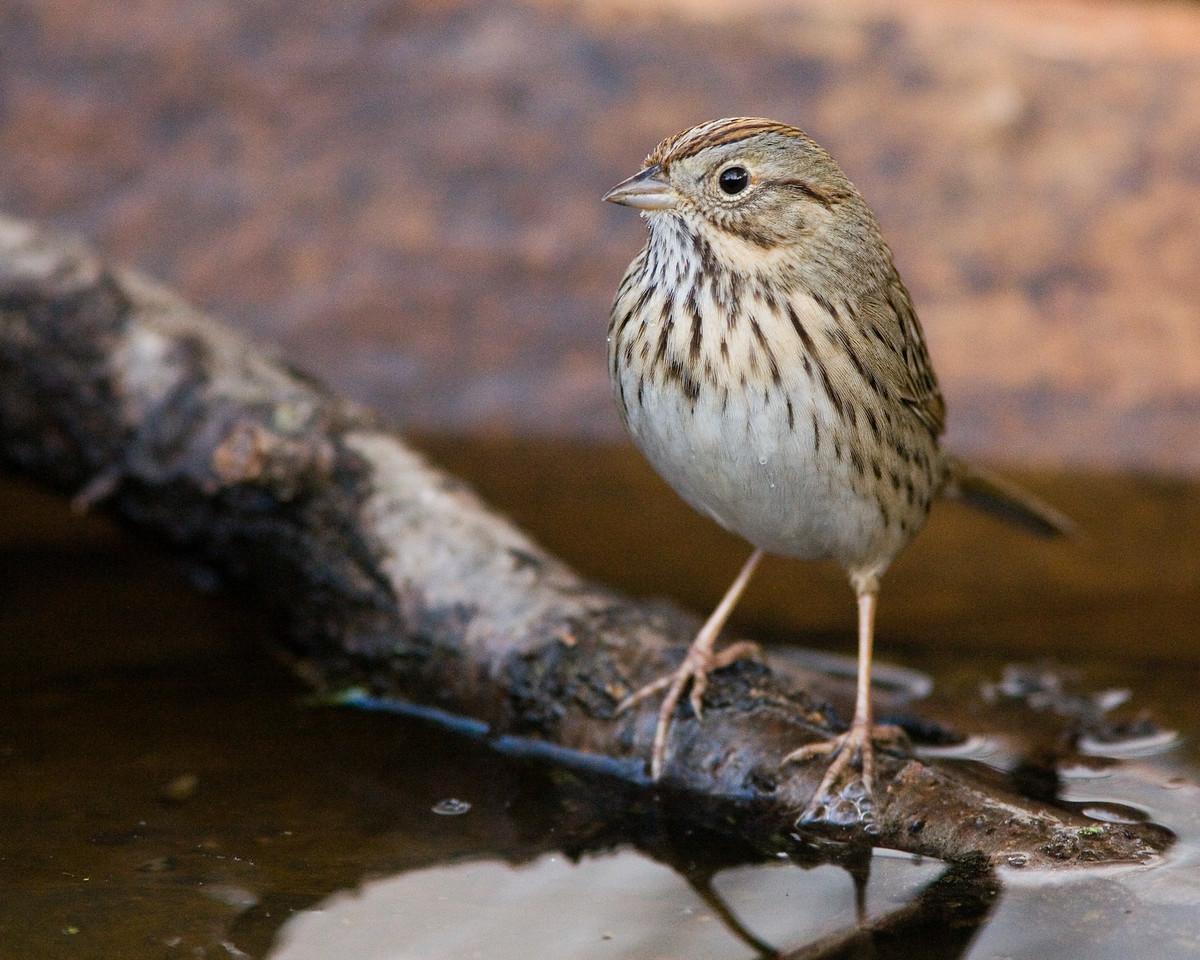 Lincoln's Sparrow I