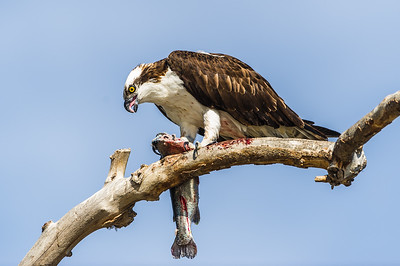 Osprey eating his Fish