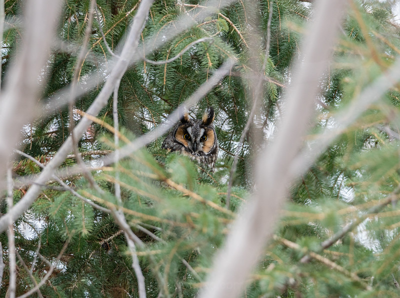 Grumpy Long Eared Owl