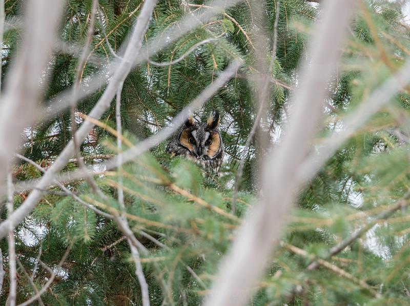 Grumpy Long Eared Owl