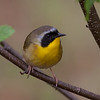 Common Yellowthroat (Geothlypis trichas) male