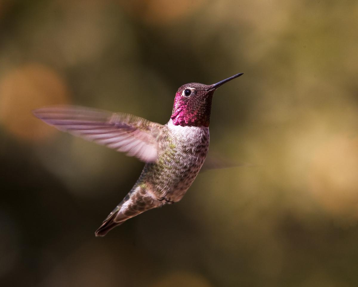 Anna's Hummingbird to the Right
