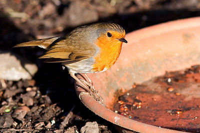Robin, Cannock Chase