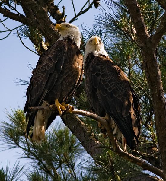 Julia and Hiram mated pair Shiloh Military Park 2009.