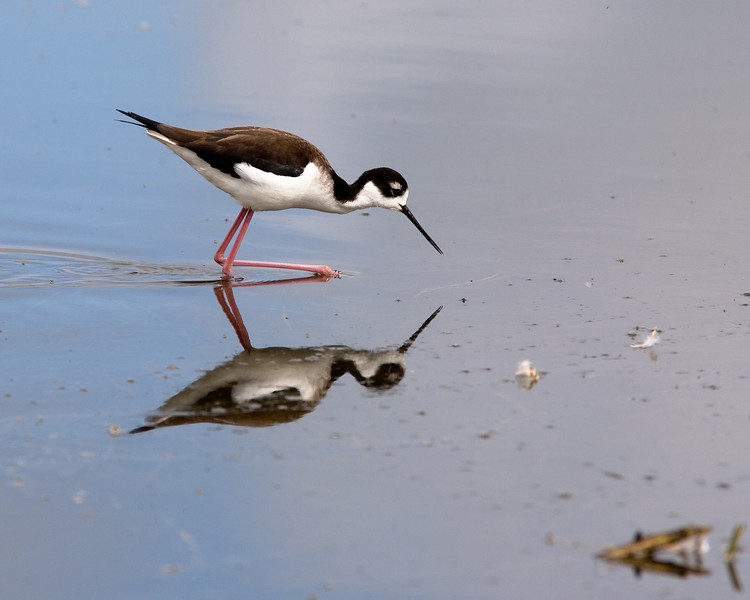 Black-necked Stilt and a Reflection