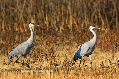 Sandhill Cranes Fall 2017-2