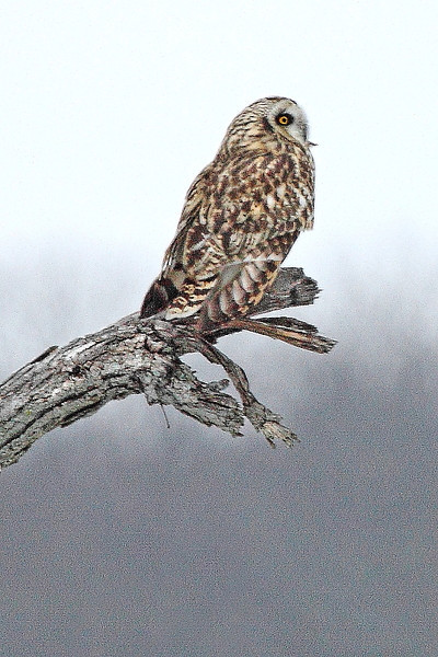 Image #7882<br /> Short-Eared Owl ~ Niagara County<br /> New York State Listed - Endangered Species