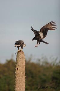 Bald Eagle and Black Vulture