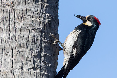 Acorn Woodpecker -3012