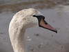 Swan at Ganavan Sands, Oban.<br /> 9th April 2011.