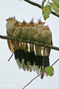 Huddle of Guira Cuckoos Guira cuckoos huddled together to get warm after a storm, Pantanal, Brazil