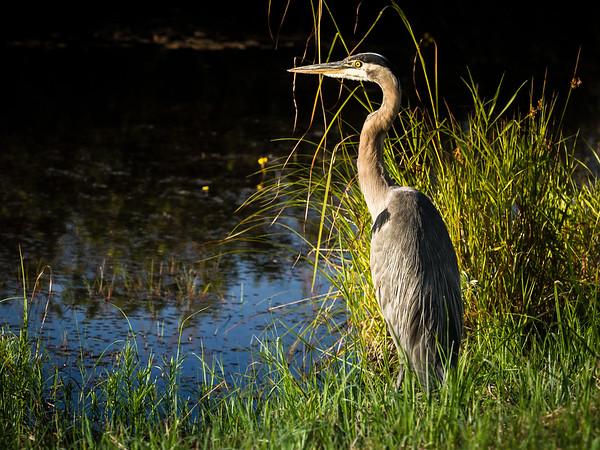Great Blue Heron, Pitt Meadows, BC.  8th August, 2014. Photo by: Stephen Hindley©