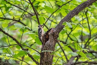 Hairy Woodpecker 1