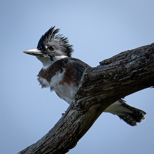 Belted Kingfisher - Bainbridge Island, Washington
