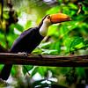 Toucan in a tree