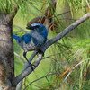 Florida Scrub Jay (Aphelocoma coerulescens)