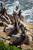 Pelicans in La Jolla, California