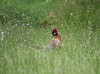 Ring-neck Pheasant
