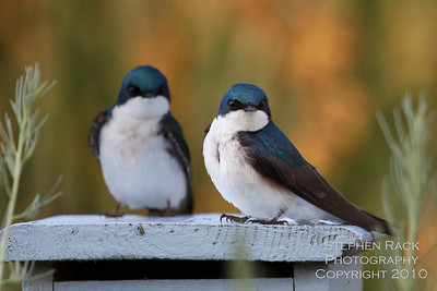 Tree Swallow's, San Joaquin Wildlife Reserve, CA