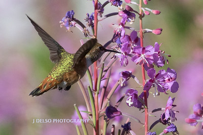 Rufous Hummingbird and Fireweed-1