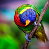 Lorikeet playing