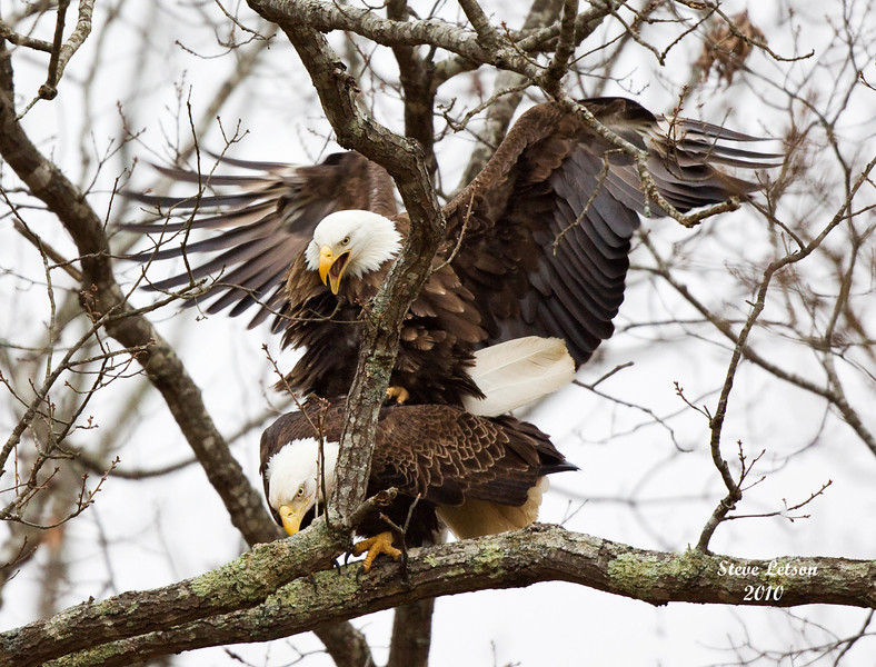 Shiloh Eagles Mating 2010.