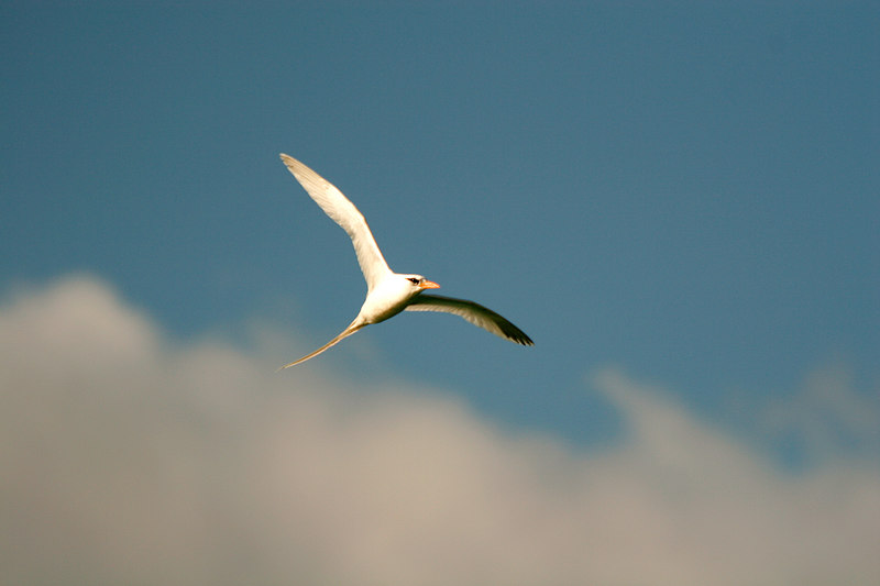 Tropical Gull, South Shore<br /> (Bermuda, 2005)