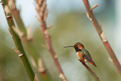 HUmming_bird_Laguna_CA-206