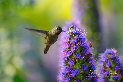Allen's Hummingbird - Female (Selasphorus Sasin)