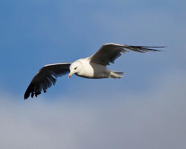 Seagull in flight - Carlsbad, CA
