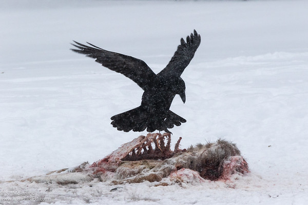 Common Raven at a Deer Carcass