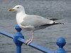Seagull on Greenock Esplanade.<br /> 8th April 2009